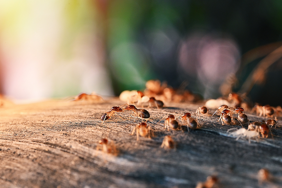 Colony Of Termite, Termites eat wood , termites that come out to the surface after the rain fell. termite colonies mostly live below the surface of the land