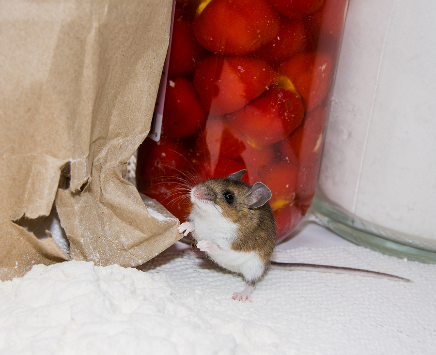 A Guilty Brown House Mouse